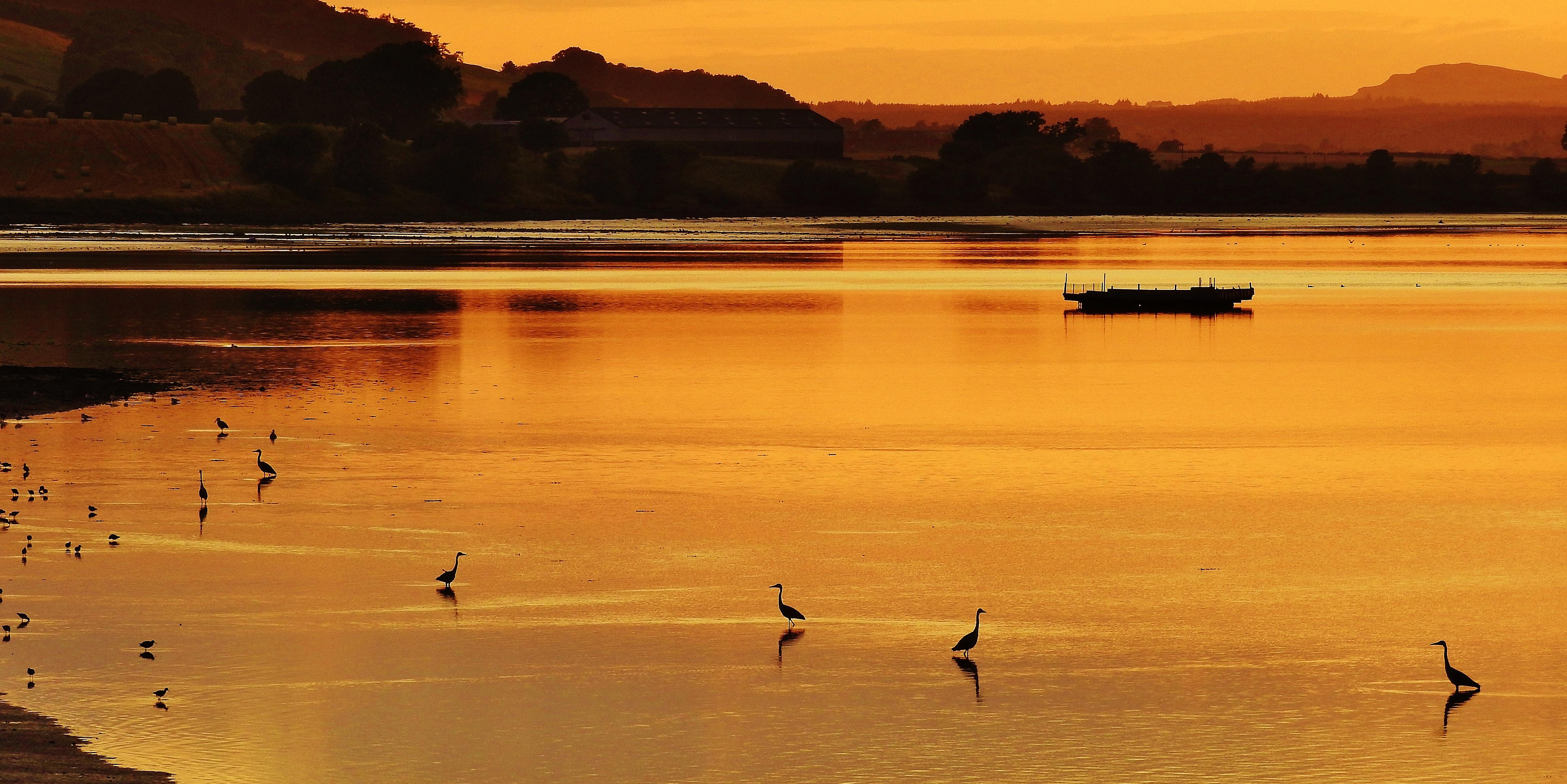 Montrose Basin Herons